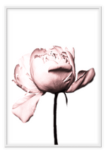 Load image into Gallery viewer, Italian Luxury Group Print 50x70cm / White Rosa Rose Brand