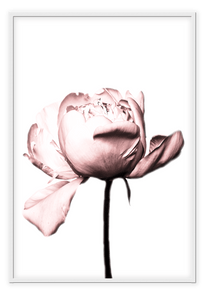Italian Luxury Group Print 50x70cm / White Rosa Rose Brand
