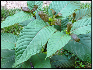 5 Common Misconceptions about Kratom