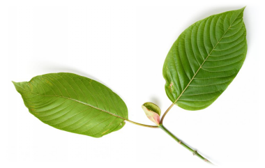 Kratom and Marijuana: What's the Catch?