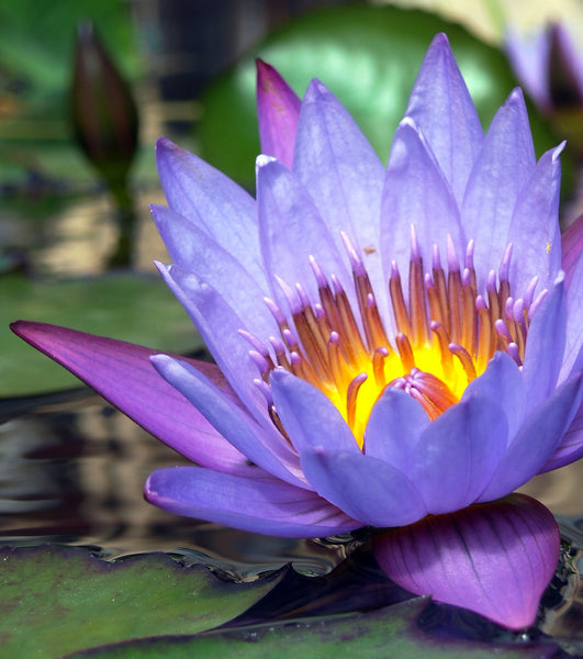 wild grown blue lotus flower