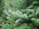Christmas Tree Canaan Fir