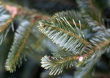 Christmas Tree Fraser Fir Blue Ribbon