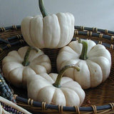 Pumpkins Chicago Mini White Pumpkins