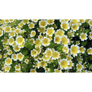 FLOWER; Limnanthes douglasii