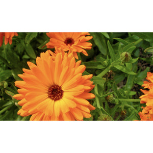 FLOWER; Calendula officinalis; orange