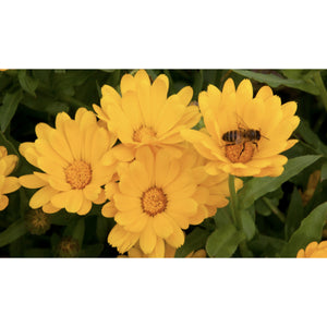 FLOWER; Calendula officinalis; yellow