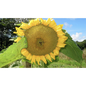 FLOWER; Helianthus annuus