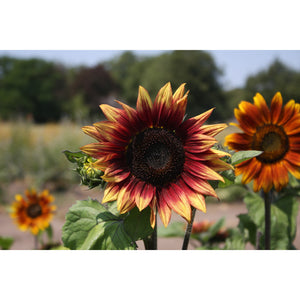 FLOWER; Helianthus annuus; red