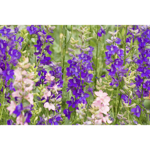 FLOWER; Delphinium ajacis; colour mix