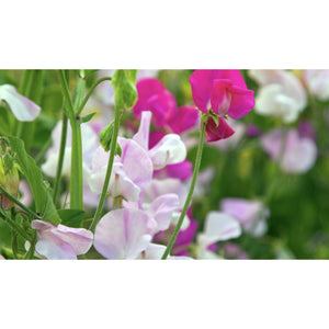 FLOWER; Lathyrus odoratus; colour mix