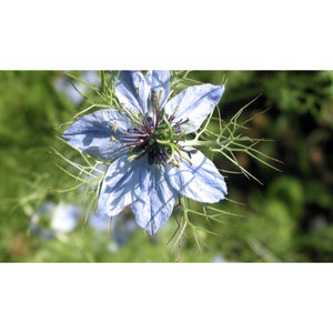 FLOWER; Nigella damascena