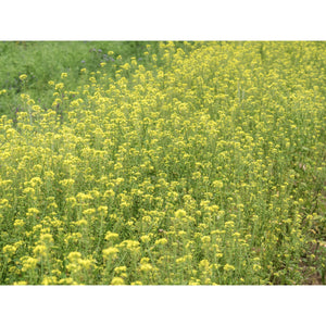 GREEN MANURE; Mustard, yellow