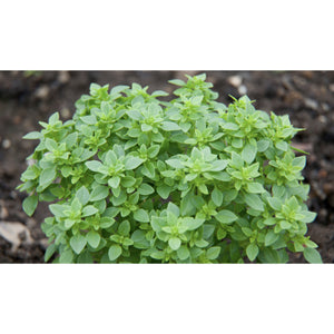 HERB; Basil, Small Bush