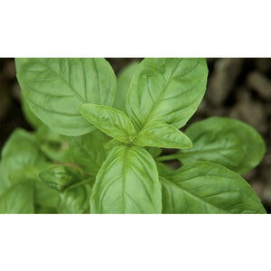 HERB; Basil, Sweet