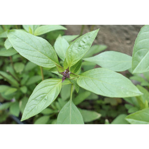 HERB; Basil, Thai