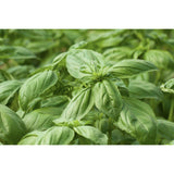 HERB; Basil, Large leaved