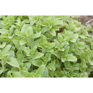 HERB; Oregano