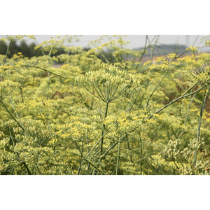 HERB; Fennel