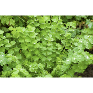 HERB; Salad Burnet