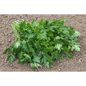 HERB; Parsley, Giant Italian