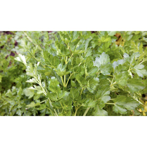 HERB; Parsley, plain-leaved