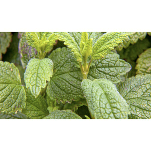 HERB; Lemon Balm