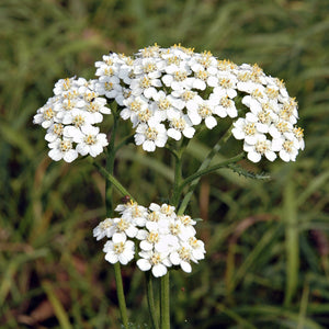HERB; Yarrow