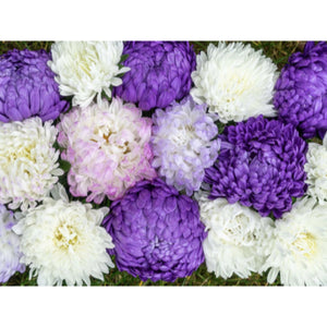 FLOWER MIXTURE; Callistephus chin. Peony Aster mix