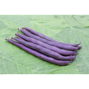 BEAN; DWARF FRENCH; Purple Teepee