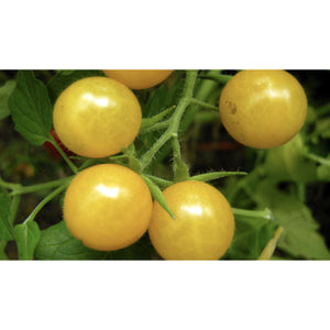 TOMATO; WILD; Golden Currant