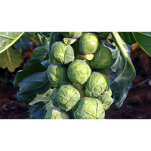 BRUSSELS SPROUTS; Groninger