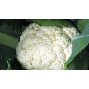 CAULIFLOWER; Alpha