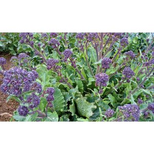 BROCCOLI; Purple Sprouting Broccoli Late