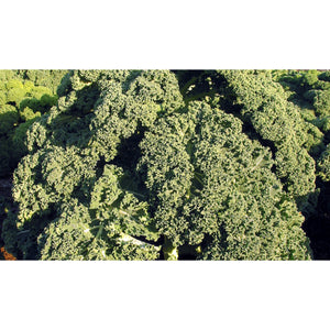 KALE; Westland Winter