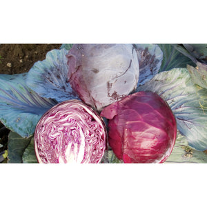 CABBAGE; RED; Rodynda
