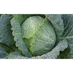 CABBAGE; SAVOY; Winter King
