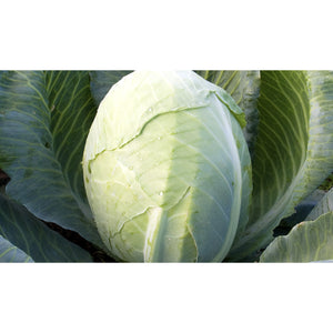 CABBAGE; WHITE; Dowinda