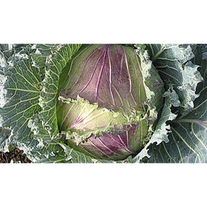 CABBAGE; WINTER; January King