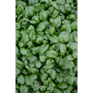 SPINACH; Early Prickly Seed