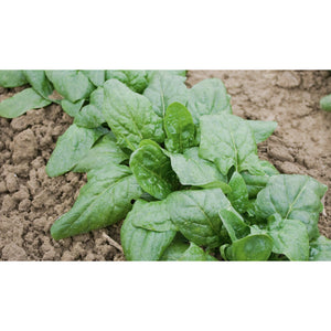 SPINACH; Giant Winter/Verdil