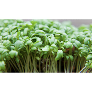 SALAD GREEN; Fine Leaved Cress