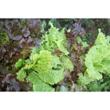 SALAD GREEN; Lettuce leaves mix