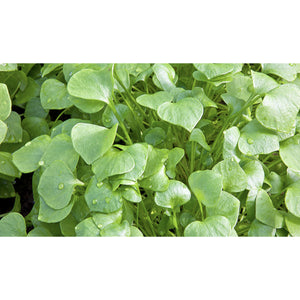 SALAD GREEN; Winter Purslane