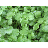 SALAD GREEN; Water Cress