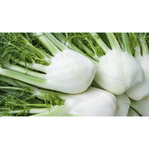 FLORENCE FENNEL; Perfektion