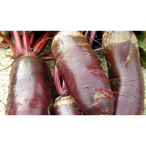 BEETROOT; Cylindra