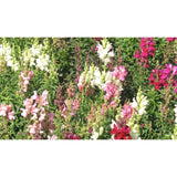 FLOWER; Antirrhinum majus; colour mix