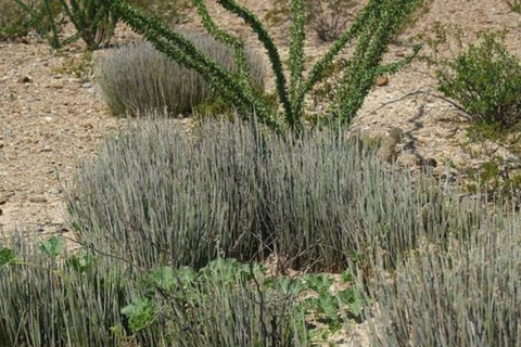 Candelilla Wax bush