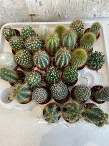 Assorted Baby Cacti